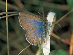midlands meander butterfly