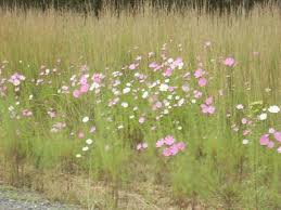 Mooi River - Cosmos along the Mooi River Road